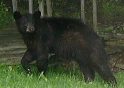Black bear at edge of woods